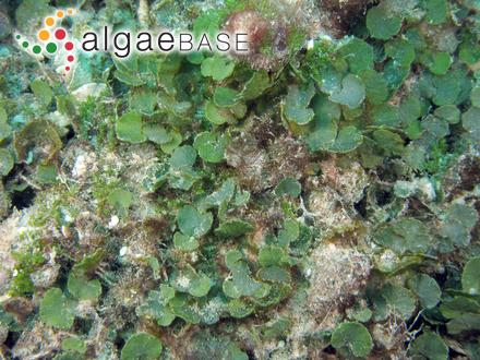 Achnanthes quadratarea (Østrup) R.Ross