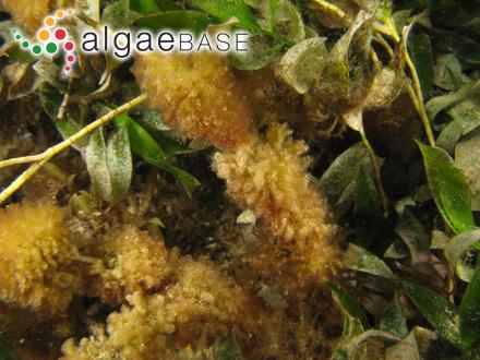 Achnanthes saxonica Krasske ex Hustedt