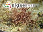 Liagora samaensis C.K.Tseng