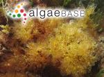 Hydrolapatha denticulata (Kuntze) Kuntze