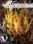 Chondria usnea (R.Brown ex Turner) C.Agardh