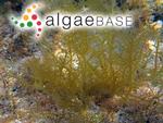 Hypnea cornuta (Kützing) J.Agardh