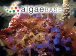 Rhodymenia anastomosans Weber Bosse