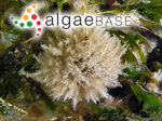 Haliptilon roseum (Lamarck) Garbary & H.W.Johansen