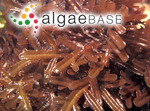 Kuetzingia canaliculata (Greville) Sonder