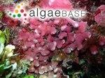Mesophyllum proliferum (Foslie) W.H.Adey