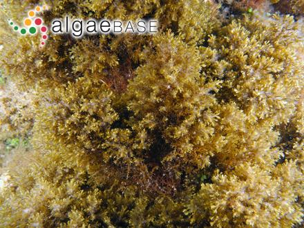 Caloneis bacillaris var. thermalis (Grunow) A.Cleve