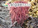 Solieria chordalis (C.Agardh) J.Agardh