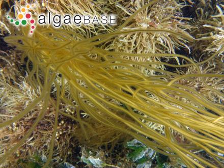 Pinnularia brevicostata f. ventricosa Hustedt