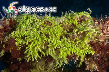 Pinnularia divergens var. undulata (M.Peragallo & Héribaud-Joseph) Hustedt