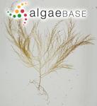 Chondria capillaris (Hudson) M.J.Wynne