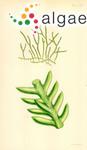 Corradoria distichophylla (Sonder) Trevisan