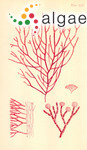 Liagora farinosa var. cheynana (Harvey) Zanefeld