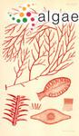 Sphaerococcus labillardierei (Mertens ex Turner) C.Agardh