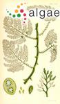 Blossevillea brownii (Turner) Kützing