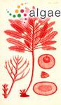Gelidium oppositifolium (C.Agardh) Greville