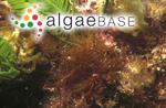 Gelidium australe J.Agardh