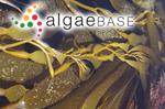 Macrocystis angustifolia Bory