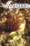 Gibsmithia womersleyi Kraft & Ricker ex Kraft