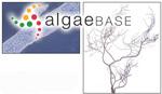 Compsopogon caeruleus (Balbis ex C.Agardh) Montagne