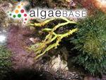 Gracilaria bursa-pastoris (S.G.Gmelin) P.C.Silva