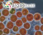 Haematococcus pluvialis Flotow