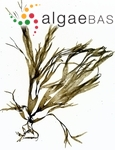 Dictyota dichotoma (Hudson) J.V.Lamouroux