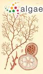 Cystoclonium carnosum (Hooker & Harvey) J.Agardh