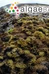 Chondrus crispus Stackhouse