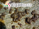 Polysiphonia sertularioides (Grateloup) J.Agardh