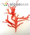 Halymenia floresii (Clemente) C.Agardh