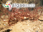 Dasya baillouviana (S.G.Gmelin) Montagne