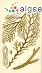Platythalia angustifolia Sonder