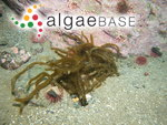 Haplogloia andersonii (Farlow) Levring