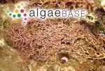 Helminthocladia australis Harvey