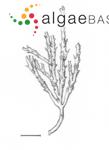 Treptacantha rayssiae (Ramon) Mulas, Neiva & Israel
