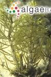 Fucus trinodis Forsskål