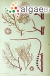 Polysiphonia versicolor J.D.Hooker & Harvey