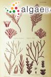 Arthrocardia corymbosa (Lamarck) Decaisne