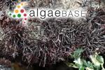 Sarcothalia scutellata (Hering) Leister