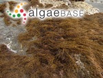 Sargassum fusiforme (Harvey) Setchell