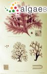 Delesseria quercifolia Bory