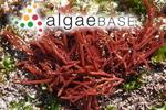 Scinaia salicornioides (Kützing) J.Agardh