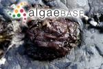 Acrochaetium caespitosum (J.Agardh) Nägeli