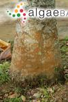 Trentepohlia abietina var. tenue (Zeller) A.B.Cribb
