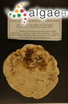 Phymatolithon masonianum Wilks & Woelkerling