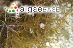 Mesogloia lanosa P.Crouan & H.Crouan