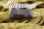 Elachista scutulata (Smith) Areschoug