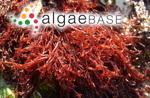 Lomentaria articulata (Hudson) Lyngbye