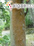 Trentepohlia odorata var. umbrina (Kützing) Hariot